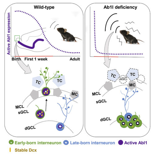 graphical abstract to Timely Inhibitory Circuit Formation Controlled by Abl1 Regulates Innate Olfactory Behaviors in Mouse