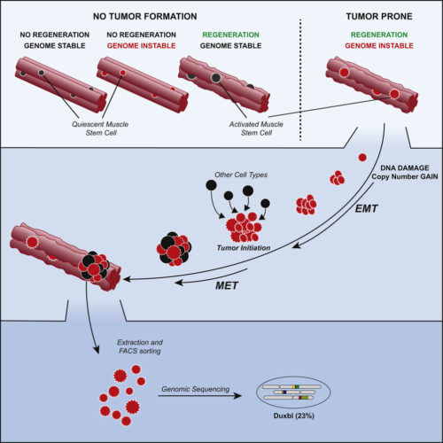 graphical abstract to Oncogenic Amplification of Zygotic Dux Factors in Regenerating p53-Deficient Muscle Stem Cells Defines a Molecular Cancer Subtype